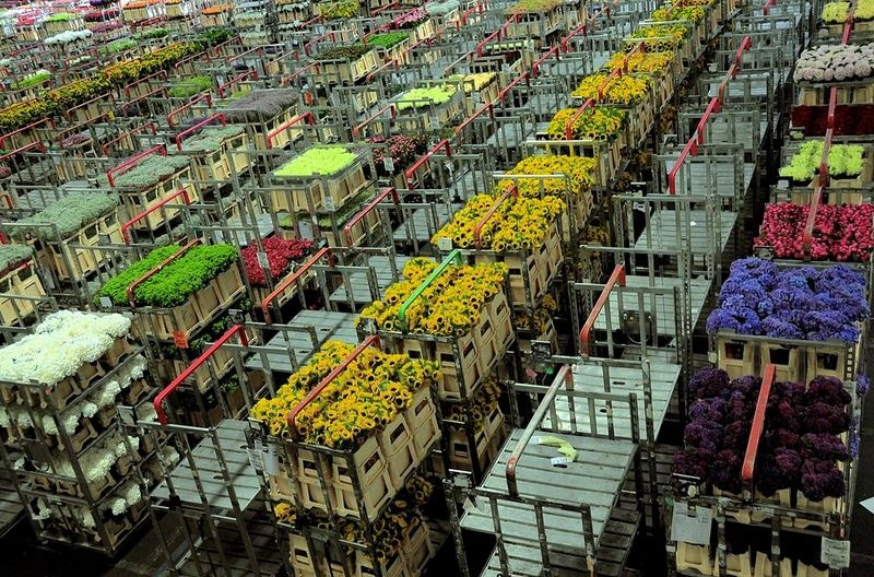aalsmeer-flower-auction-5