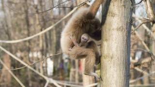 Nyíregyháza, 2016. február 17. Két hónapja született, fehérkezû gibbonkölyök (Hylobates lar) kapaszkodik anyjába a Nyíregyházi Állatparkban 2016. február 17-én. Az érdeklõdõk mostantól láthatják a kölyökállatot. MTI Fotó: Balázs Attila