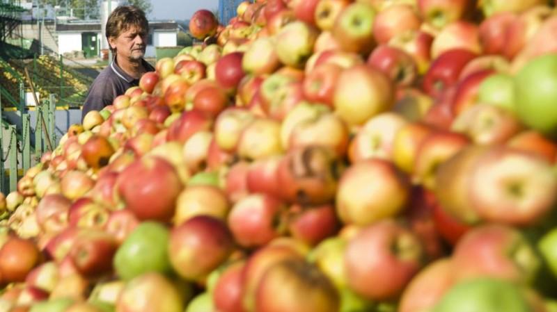 Vásárosnamény, 2009. augusztus 28. Káczai János fuvarozó almát borít le az Agrana-Juice-Magyarország Kft. vásárosnaményi almafeldolgozó üzemében. Az Alma Terméktanács tagjai szerint az idei újabb alacsony felvásárlási ár miatt a megszûnés fenyegeti az almatermesztést. Az ipari alma jelenlegi 11 forint kilogrammonkénti ára legfeljebb csak a betakarítás és a szállítás költségeit fedezi; mindez azt eredményezheti, hogy a termelõk felhagynak a gyümölcstermesztéssel. A becslések szerint a tavalyi 670 ezerrel szemben az idén 510 ezer tonna almatermés várható. MTI Fotó: Balázs Attila