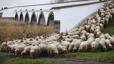 Hortobágy község, 2012. december 1. Rackanyáj a hortobágyi kilenclyukú hídnál, az adventi behajtási ünnepen 2012. december 1-jén. A vásártéren megtartott ünnepen a tavasszal kihajtott jószágokkal kellett elszámolniuk a pásztoroknak. MTI Fotó: Czeglédi Zsolt