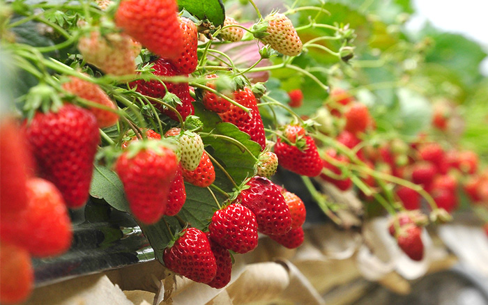 strawberries-how-to-grow-fruit