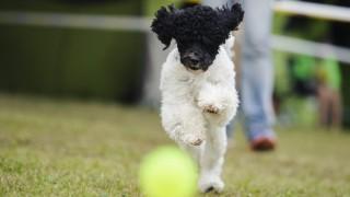 Bélapátfalva, 2016. május 15. Egy harlekin uszkár szalad a 3x CACIB nemzetközi kutyakiállításon Bélapátfalván 2016. május 15-én. MTI Fotó: Komka Péter