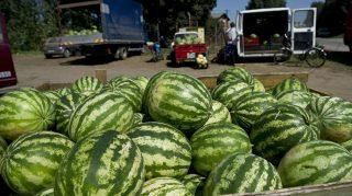 Medgyesegyháza, 2010. augusztus 11. Dinnyével megrakott jármûvek várakoznak egy felvásárló telep elõtt Medgyesegyházán, ahol 17 és 22 forint között veszik át a gyümölcsöt. Országosan a termelõk egy kiló dinnyét 20-30 forint között tudnak eladni a felvásárolóknak, szemben a tavalyi, mintegy 35 forint körüli átlagárral. A kiskereskedelem ugyanakkor 99-150 forint között kínálja kilónként a vevõknek a magyar görögdinnyét. MTI Fotó: Rosta Tibor