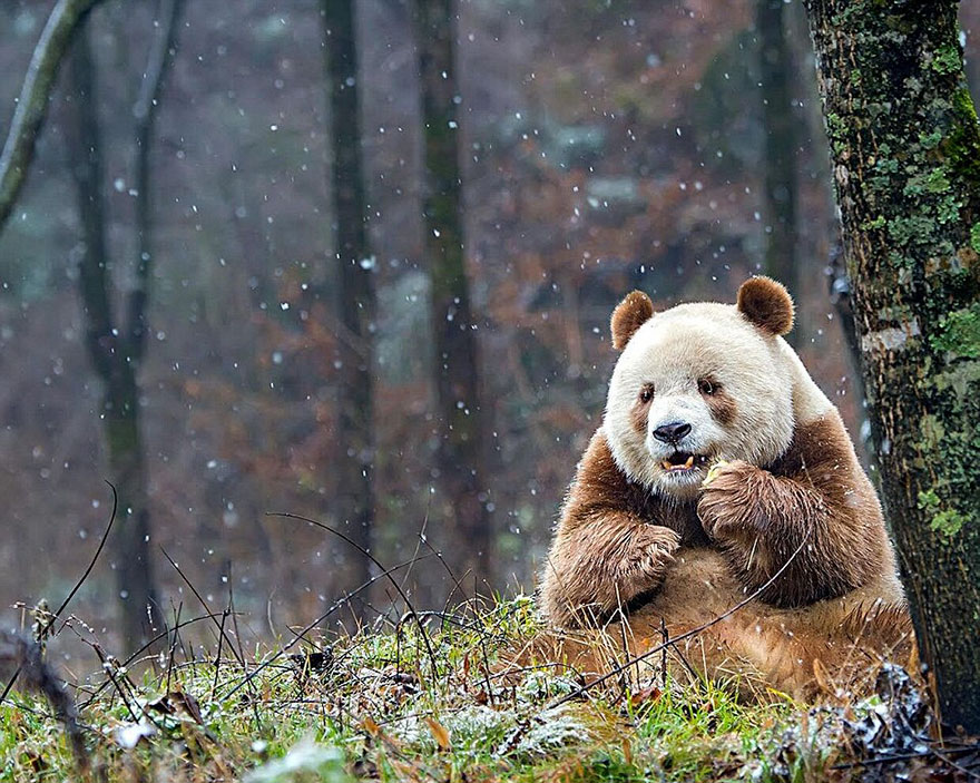 abandoned-brown-panda-qizai-15