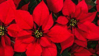 Bright christmas red poinsettia flower horizontal background
