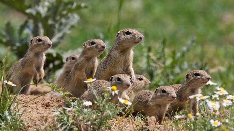 Photo from ARKive of the European ground squirrel (Spermophilus citellus) - http://www.arkive.org/european-ground-squirrel/spermophilus-citellus/image-G85874.html