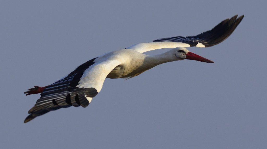 Görbeháza, 2015. március 10. A visszatért fehér gólyák egyike (Ciconia ciconia) Görbeháza közelében 2015. március 10-én. A helybéliek az elmúlt napokban vették észre, hogy visszatértek a madarak. MTI Fotó: Czeglédi Zsolt