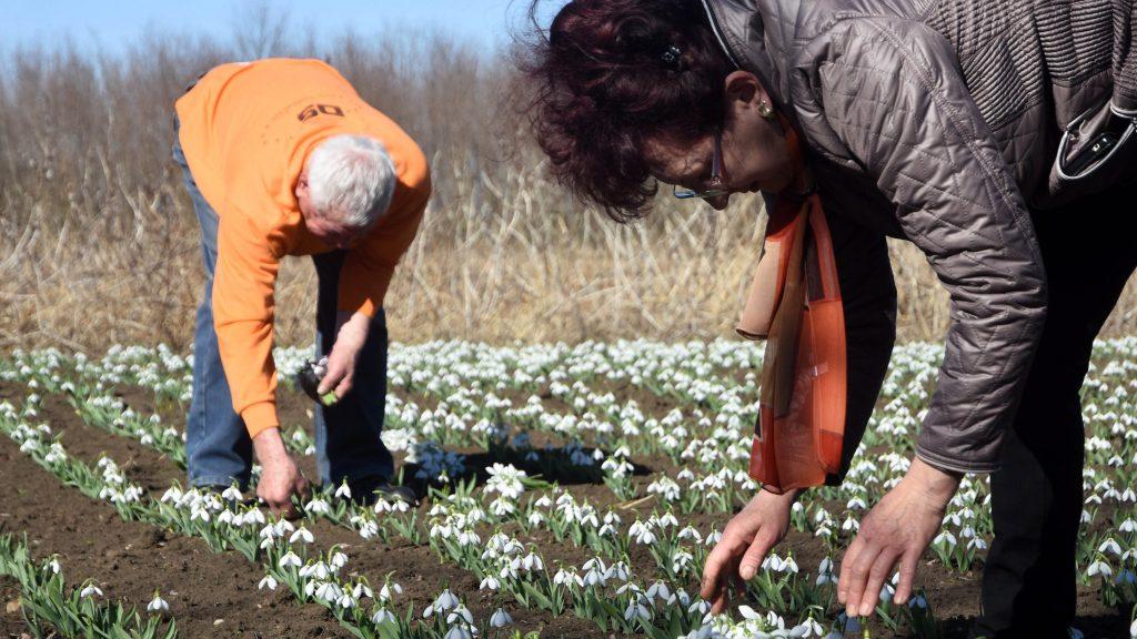 Kunszentmárton, 2017. március 3. Heller Lídia és Czakó János szedik a hóvirágot (Galanthus nivalis) Kunszentmárton határában lévõ földjükön 2017. március 3-án. A hóvirág egyedeinek termesztését és adásvételét engedélyezte a Közép-Tisza-Vidéki Környezetvédelmi és Természetvédelmi Felügyelõség. Az õstermelõ Czakó János a kertjükben szaporított több ezer darab virághagymát ültette el a város határában lévõ földjén, a virágokat az engedély bemutatásával árulják a vevõknek a piacon. MTI Fotó: Mészáros János
