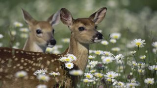 Close-up of two White-tailed Deer fawns (Odocoileus virginianus)