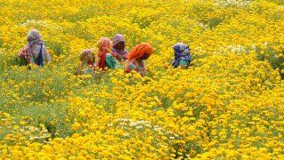Amritszár, 2017. április 4. Körömvirágot szednek dolgozók egy ültetvényen az észak-indiai Amritszár város szélén 2017. április 4-én. A gyógyhatásáról közismert növény virágait Indiában díszítésre is használják, illetve vallási szertartásokon felajánlják. (MTI/EPA/Raminder Pal Szingh)