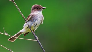 An Eastern wood-pewee perched on a twig against a green background