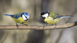 two similar birds titmouse sitting on a branch in the Park