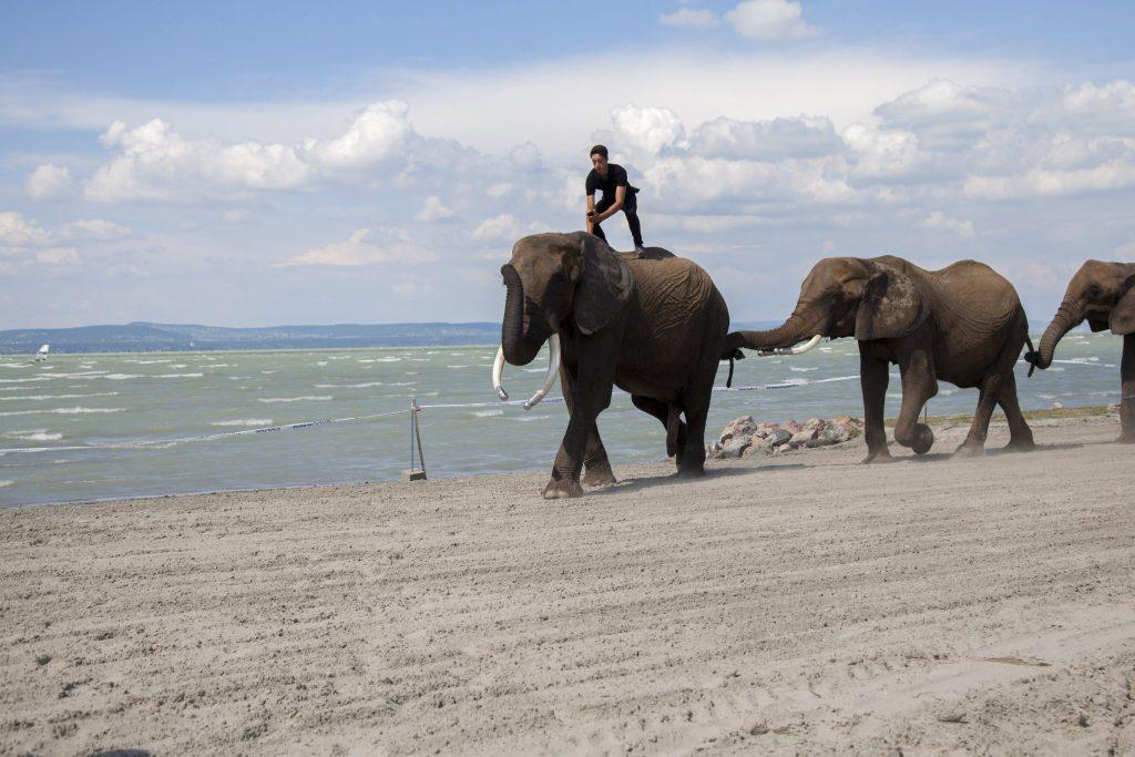 Balatonlelle, 2017. július 15. A Magyar Nemzeti Cirkusz elefántjai a Cirkuszok éjszakája rendezvényen Balatonlellén 2017. július 15-én. MTI Fotó: Varga György