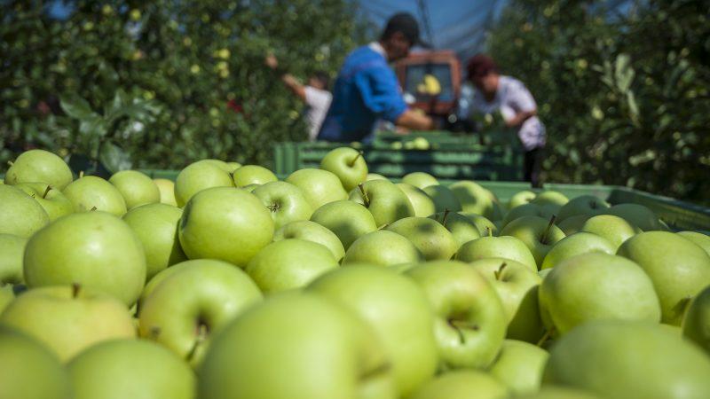 Derecske, 2015. szeptember 9. Golden almák a Bold-Agro Kft. almáskertjében, Derecske határában 2015. szeptember 9-én. MTI Fotó: Czeglédi Zsolt