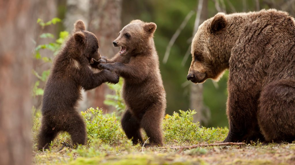 Eurasian brown bear (Ursos arctos) female and her playful cubs at the edge of a boreal forest, Finland.