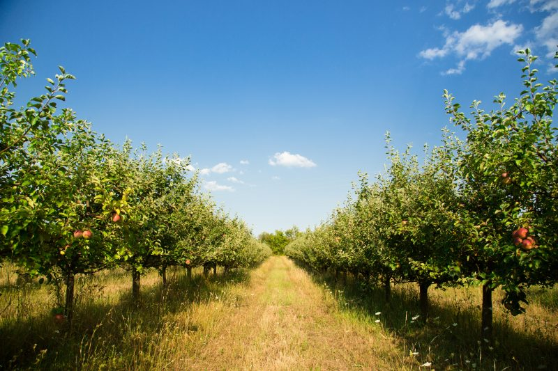 Organic Apple orchard or plantation