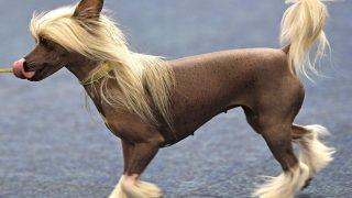 Dortmund, 2017. október 13.Kínai meztelen kutya az évenként rendezett dortmundi kutyakiállításon 2017. október 13-án. Németország legnagyobb ebseregszemléje október 15-ig tart több ezer házi kedvenc részvételével. (MTI/AP/Martin Meissner)