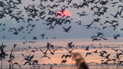 Zalavár, 2016. december 11. Vadludak repülnek napfelkeltekor a Kis-Balaton felett Zalavárnál 2016. december 11-én. MTI Fotó: Varga György