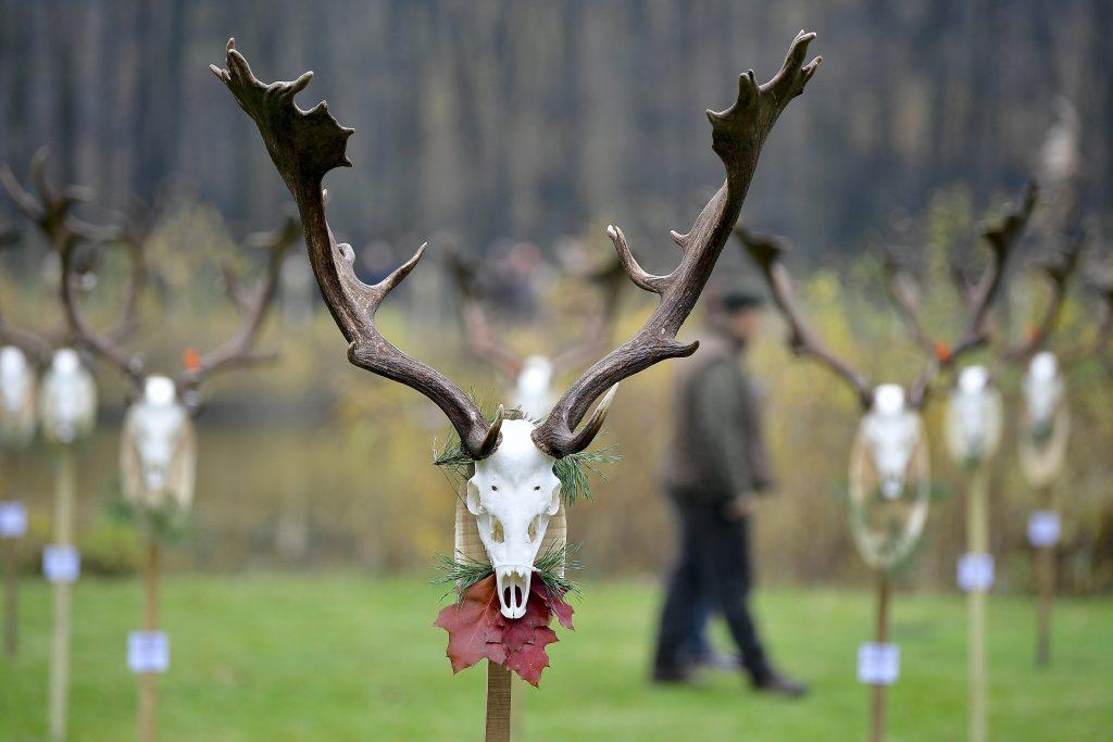 Nyíradony, 2017. november 10. 6,27 kilogrammos dámbikatrófea a Nyírerdõ Zrt. gúthi erdészetében tartott trófeaszemlén 2017. november 10-én. MTI Fotó: Czeglédi Zsolt
