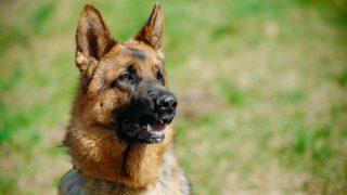 Beautiful Young Brown German Shepherd Dog Close Up